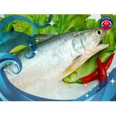 養殖午仔魚